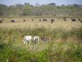 Taureaux et chevaux de Camargue